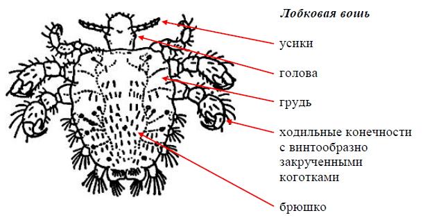 Вши человека — фото, виды, размножение