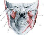 Латеральная крыловидная мышца прикрепляется – Вопрос 3. Медиальная и латеральная крыловидные мышцы.